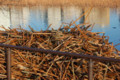 不忍池のハスの茎