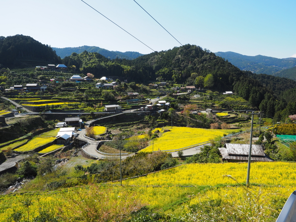 江田の棚田 山一面の菜の花