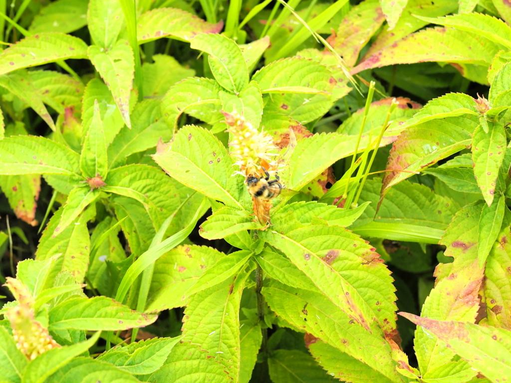 剣山登山 ミツバチを発見