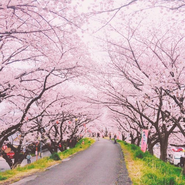 桜,大阪,花見,おすすめ