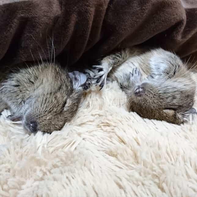 睡眠中のデグー