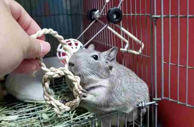 チモシー製のおもちゃで遊ぶデグー