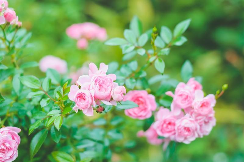 ピンクのバラに目が止まった