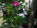 3色アサガオ
