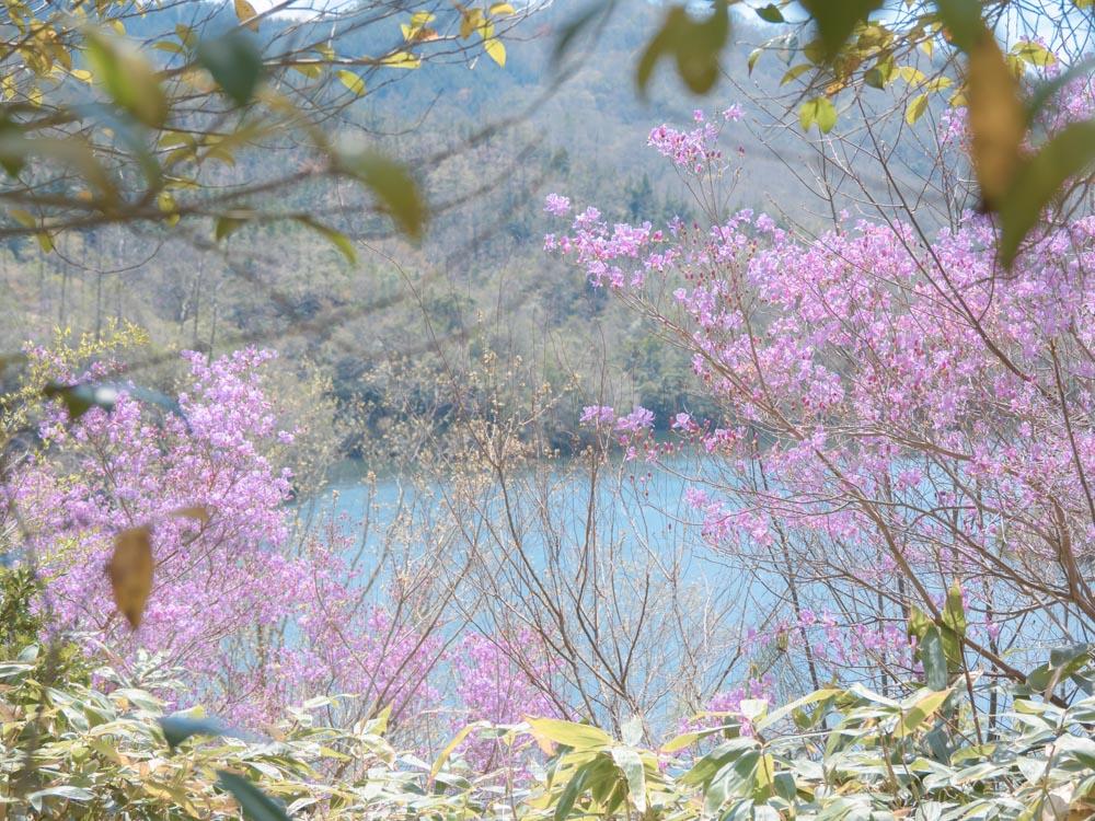 ダム湖とツツジの写真