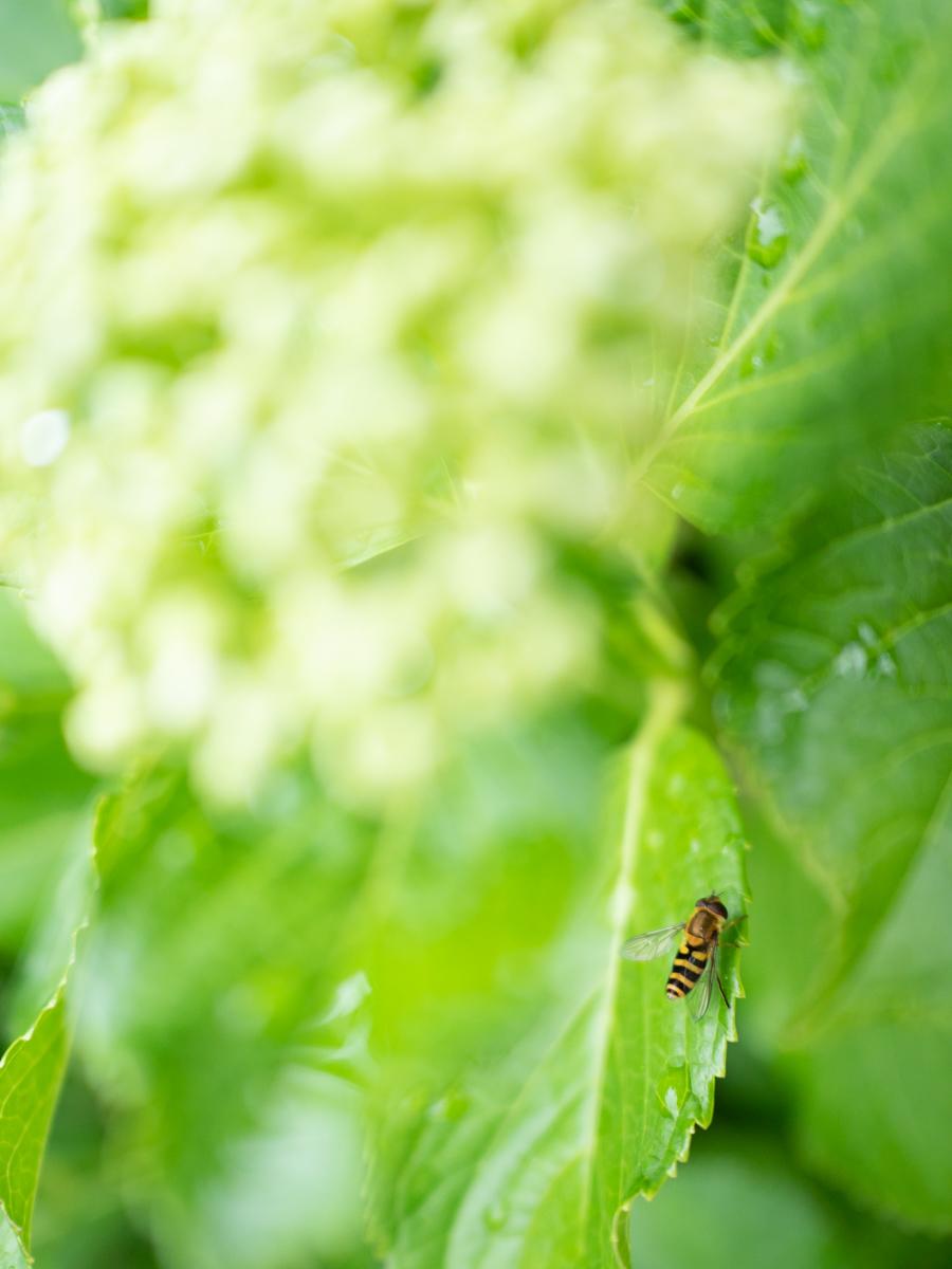 紫陽花の陰で雨宿りをする蜂