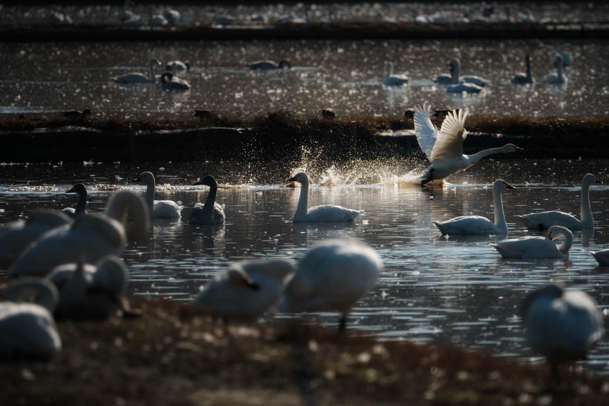 白鳥がが飛び立つシーン