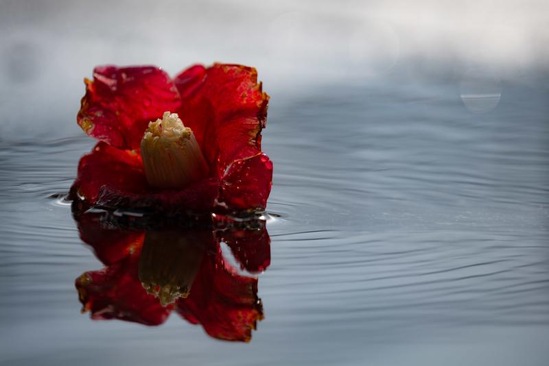 水たまりの落椿