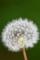 京都新聞写真コンテスト 綿帽子