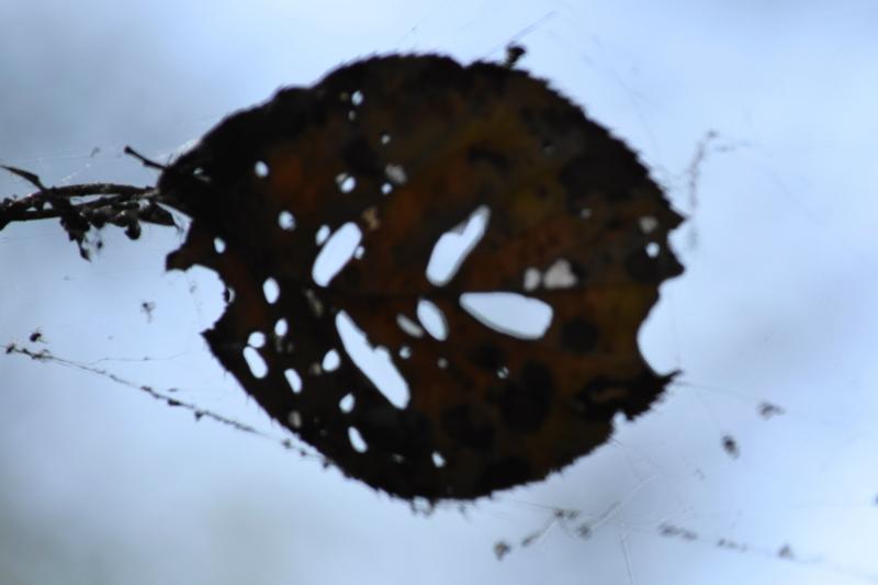 京都新聞写真コンテスト 蜘蛛にやられた