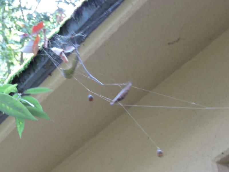 京都新聞写真コンテスト 蜘蛛のいたずら