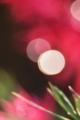 京都新聞写真コンテスト 花の上の朝露