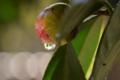 京都新聞写真コンテスト 椿の涙