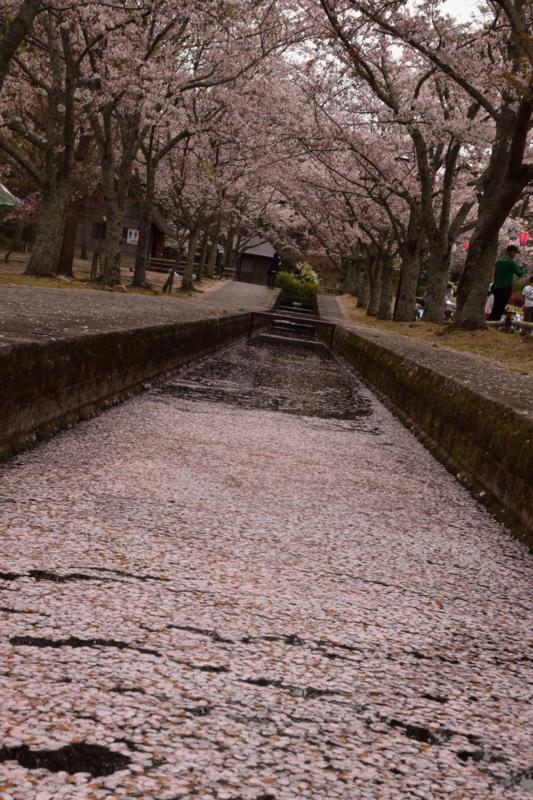 京都新聞写真コンテスト 花筏