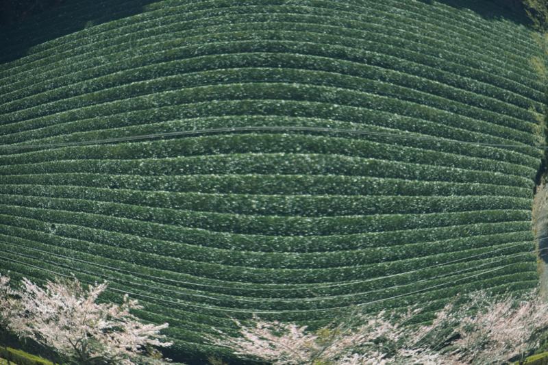 京都新聞写真コンテスト 茶畑