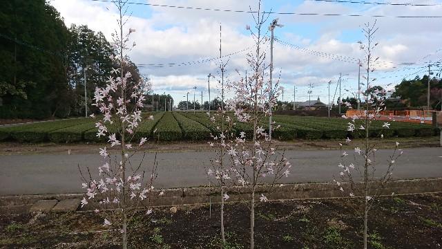 f:id:tosshii-plants:20180324220401j:image