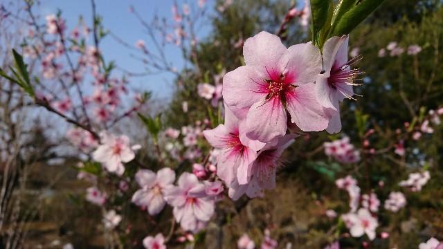 f:id:tosshii-plants:20180405191957j:image