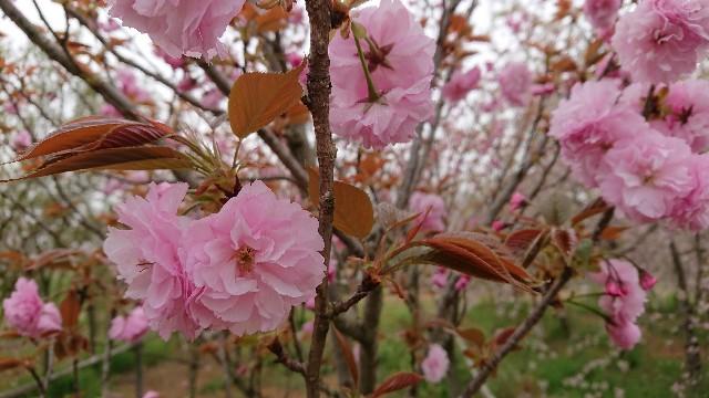 f:id:tosshii-plants:20180406213300j:image