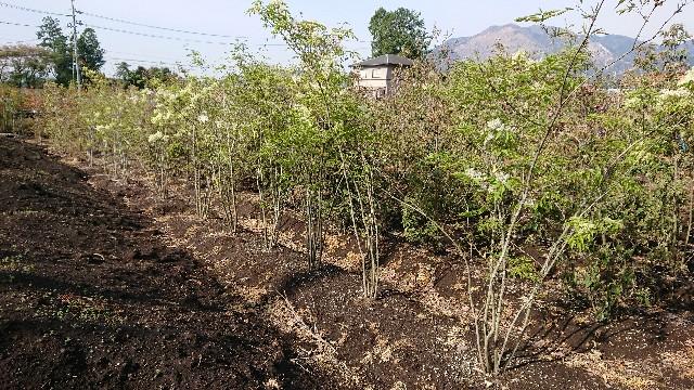 f:id:tosshii-plants:20180417205636j:image