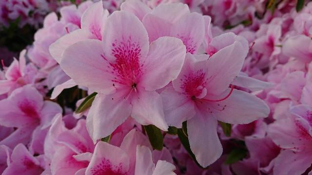 f:id:tosshii-plants:20180502000924j:image