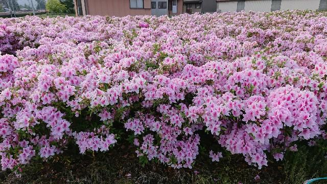 f:id:tosshii-plants:20180502000947j:image
