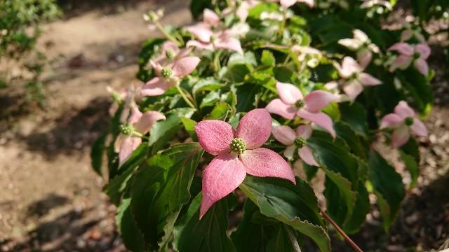 f:id:tosshii-plants:20180526194817j:image