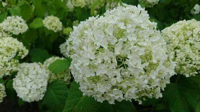 f:id:tosshii-plants:20180607230721j:image