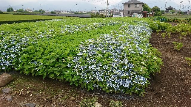 f:id:tosshii-plants:20180612211416j:image