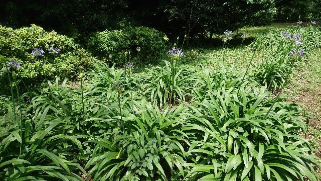 f:id:tosshii-plants:20180628204414j:image