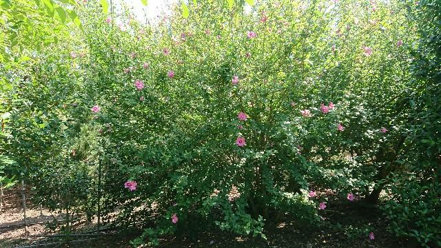 f:id:tosshii-plants:20180803212110j:image