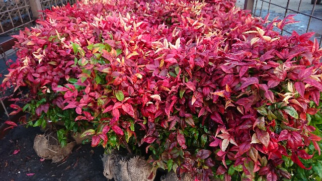 f:id:tosshii-plants:20190108185353j:image
