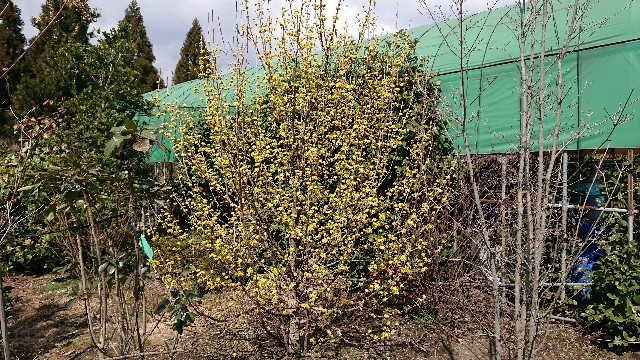 f:id:tosshii-plants:20190316144458j:image
