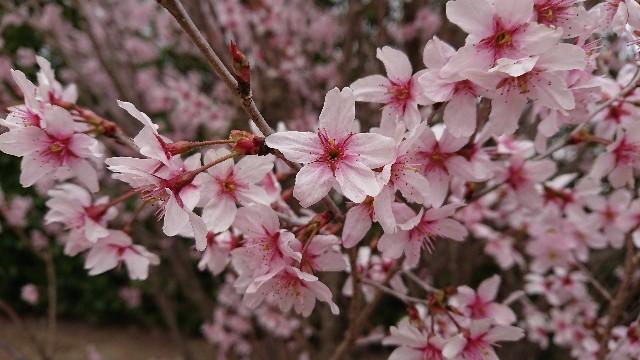 f:id:tosshii-plants:20190326215544j:image