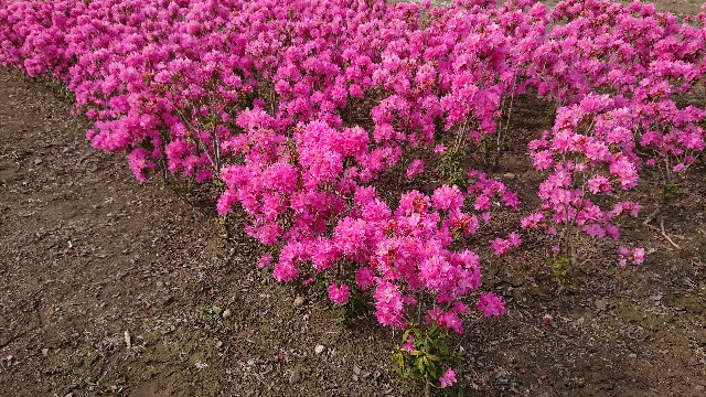 f:id:tosshii-plants:20190329201657j:image