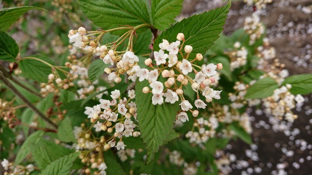 f:id:tosshii-plants:20190422225746j:image