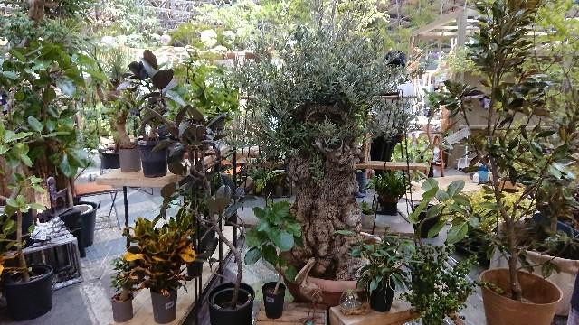 f:id:tosshii-plants:20190511220549j:image