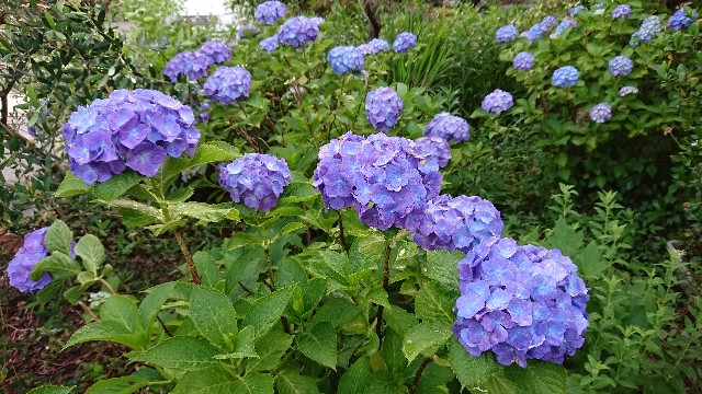 f:id:tosshii-plants:20190610221732j:image