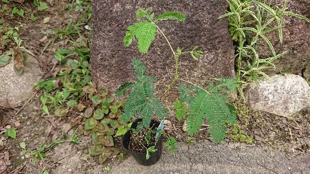 f:id:tosshii-plants:20190726224901j:image