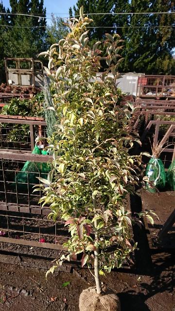 f:id:tosshii-plants:20200129210717j:image