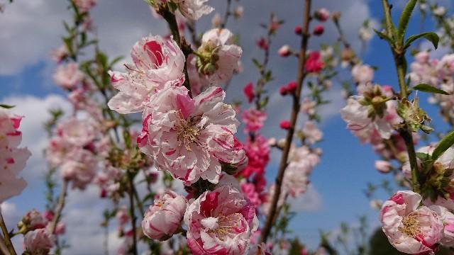 f:id:tosshii-plants:20200406213748j:image