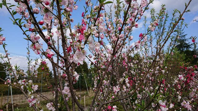 f:id:tosshii-plants:20200406213828j:image
