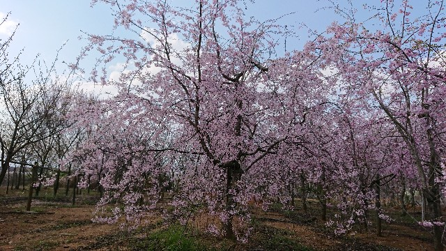 f:id:tosshii-plants:20200409190621j:image