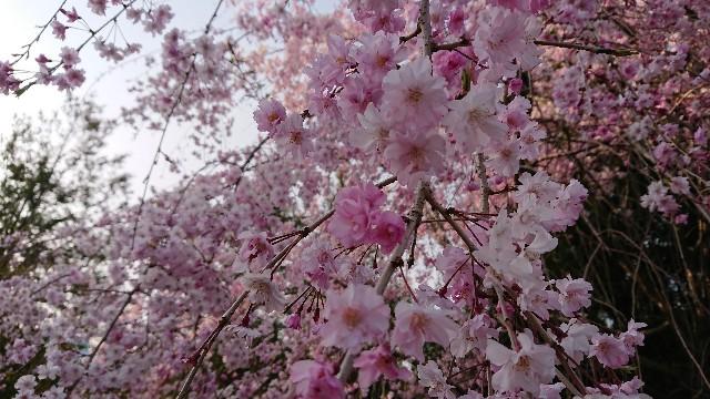 f:id:tosshii-plants:20200411212534j:image