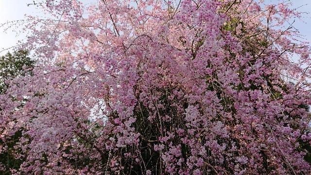 f:id:tosshii-plants:20200411212552j:image