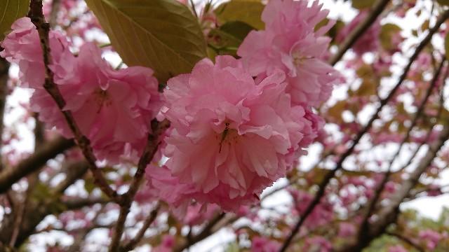 f:id:tosshii-plants:20200421214452j:image