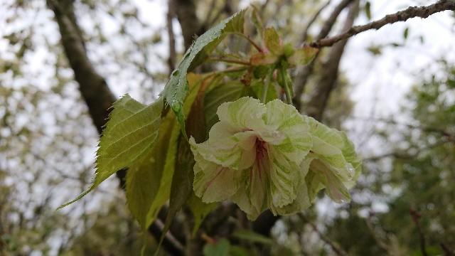 f:id:tosshii-plants:20200428212403j:image