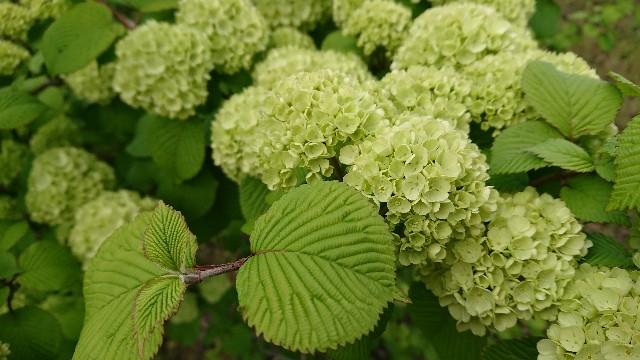 f:id:tosshii-plants:20200508183800j:image