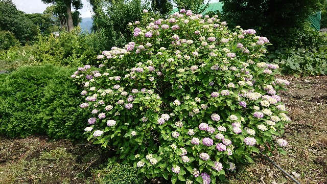 f:id:tosshii-plants:20200616185019j:image