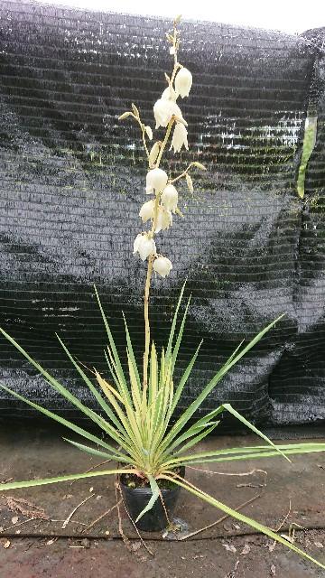 f:id:tosshii-plants:20200619222157j:image