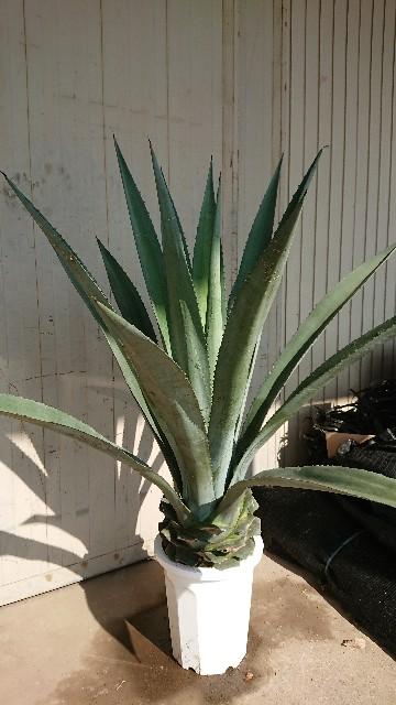 f:id:tosshii-plants:20200623210452j:image